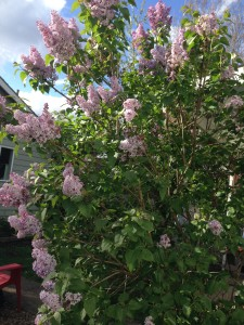 lilac bush, placenta planting
